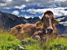 Vaca, Los Alpes, Montañas, Resto