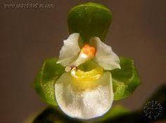 zygostates - Google'da AraZygostates bradei (Schltr.)