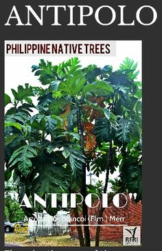 """ANTIPOLO (Artocarpus blancoi (Elm.) Merr.) The adaptiveness of the Antipolo/ Tipolo tree is very remarkable! It can tolerate drought, infertile soil, & even shade. """"Protect our trees, our forests- our source of life!"""" Visit our website: www.rainforestation.ph Articles about this tree: Native Tree of the month (PART 2) Antipolo Artocarpus blancoi (Elm.) Merr. 24 October 2011. Philippine Star. Philippine Star, Forest Plants, 24 October, Wood Tree, Nature Animals, Native Plants, Forests, Landscape Architecture, Trees To Plant"""