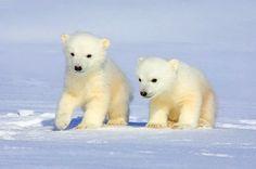 Furry snowballs,tiny polar bears, cuddly bears, snow bears