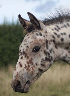 APPALOOSA FOALS 2015 - Google Search