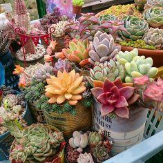 2016-03-30 暖かくなってきたのに 紅葉がさめるどころかすすんでる 寒暖の差かなぁ('ω' ) . . . #宮崎タニラー#宮崎多肉愛好会婦人部#多肉植物#多肉#寄せ植え . #succulents#succulent#succulove#succulentlove#green#garden#plants by eriko_029