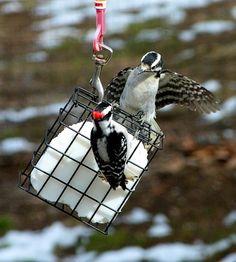 Woodpecker War - FeederWatch
