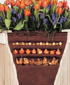 Layered bulb pot! Bottom is daffodils, middle is tulip's and top is crocus. For six and more weeks of bloom!