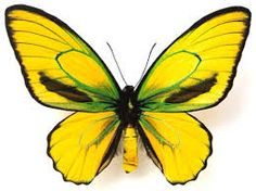 A yellow fellow Butterfly Photos, Glass Butterfly, Butterfly Wings, Butterfly Flowers, Beautiful Bugs, Beautiful Butterflies, Amazing Nature, Flying Insects, Bugs And Insects