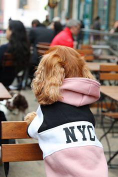 river island dog NYC hoodie worn by cavalier king charles spaniel