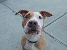 HOUSTON - A1106968 - - Brooklyn  TO BE DESTROYED 04/01/17 *NEW HOPE RESCUE ONLY*  A volunteer writes: Although Houston can be cautious at first, it quickly becomes clear that she has a very loving, sweet personality. It took a little coaxing to get Houston to go for a walk with me (she doesn't love being touched around the neck and face), but once her leash was on, her tail starting wagging like crazy, and she was eager to walk next to me. She's great on the lea