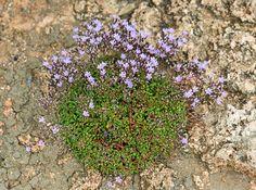 FLOREALPES : Limonium pseudominutum / Faux Statice nain / Plumbaginaceae / Fiche détaillée Fleurs des Hautes-Alpes