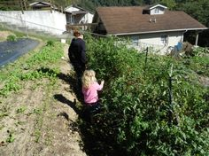 Collecting fall tomatoes with Miss Muffet on September 23rd, 2012. The upper beds are just beginning to show growth of fall/winter vegetables.