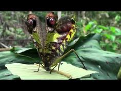 Katydid - Pterochroz