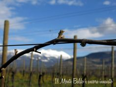 A view of Mount Baldo from the Allegrini Vineyards