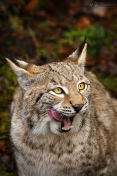 Mhhh, that guy with the camera looks tasty | Another lynx pic from Wildpark Pforzheim.