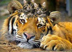 1 tiger. 2 cats.