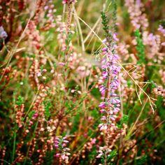 Lyng i Jordløse Bakker #visitfyn #fyn #nature #visitdenmark #naturelovers #nofilter #natur #denmark #danmark #dänemark #landscape #assens #mitassens #assensnatur #vildmedfyn #fynerfin #vielskernaturen #visitassens #instapic #picoftheday #novemberphotoaday #november