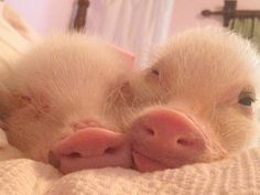 Stop what youre doing and follow Prissy pig and her brother Poppleton on instagram (17 photos)