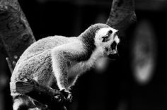 Ring Tailed Lemur Pup by Rob Higginbotham on 500px