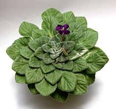 Zajímavé pokojové květiny | Nápady jedné babči Saintpaulia, Orchids, Flora, Succulents, Gardening, Plants, Decor, Flowers, Garten