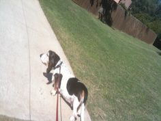 Baxtwr going on his daily walk on the Texas Trail.