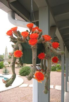 Photo of Peanut Cactus (Echinopsis 'Fire Chief') uploaded by plantmanager Succulent Terrarium, Cacti And Succulents, Planting Succulents, Cactus Plants, Planting Flowers, Indoor Cactus, Cactus Care, Cactus Flower, Flower Pots
