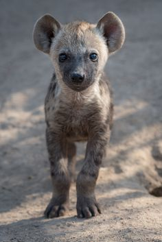 A baby hyena cub looks towards the camera. A baby hyena cub looks towards the camera. Baby Wild Animals, Cute Baby Animals, Animals And Pets, Funny Animals, African Wild Dog, Wild Dogs, Jolie Photo, Animal Memes, Animal Photography