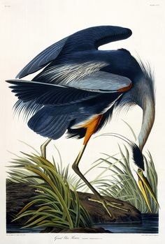 greynotgrey:  The bird is the word  John James Audubon - Great Blue Heron (1835) Worth noting, Not only did Audubon paint this exquisite watercolour, but he was also the discoverer of the subspecies illustrated here (Ardea herodias occidentalis)in the same year as this painting.