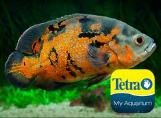 Originally from the Amazon, this personable fish is popular.  They like to rearrange their tank. Known for their cleverness and personality, Oscar cichlids can quickly grow to a large size. Some even let their owners touch them and take food from their owner's hands. Can be aggressive in too small an area.  Freshwater Top/Mid Feeder Skill Level: Intermediate Daily Diet: TetraCichlid™ Flakes Supplement: Tetra® JumboMin Large Floating Sticks Treats: TetraPro® Cichlid Veggie Pellets/Frozen… Cichlid Aquarium, Aquarium Set, South American Cichlids, Tetra Fish, Oscar Fish, Aquarium Maintenance, All Fish, Lego Military, Colorful Fish
