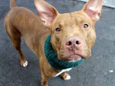 TO BE DESTROYED - 01/08/15 Manhattan Center - P My name is SPUTNIK. My Animal ID # is A1023103. I am a male br brindle and tan staffordshire mix. The shelter thinks I am about 2 YEARS old. I came in the shelter as a STRAY on 12/14/2014 from NY 11208, owner surrender reason stated was STRAY.  https://www.facebook.com/Urgentdeathrowdogs/photos/a.611290788883804.1073741851.152876678058553/923245241021689/?type=3&theater