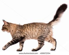 thumb1.shutterstock.com display_pic_with_logo 343015 490672354 stock-photo-portrait-of-domestic-black-tabby-maine-coon-kitten-months-old-cute-young-cat-isolated-on-white-490672354.jpg
