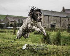 Here is a Springer Spaniel doing just that :) #DogPhotographer #Springerspaniel #Gundog