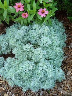 Artemisia- Artemisia has beautiful silver-gray foliage that won't fade in the hot sun. This hardy perennial is also drought and insect resistant, and the branches make a wonderful addition to indoor flower arrangements.