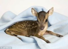 Allow me to present: the world's tiniest deer - Imgur