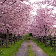 Lane down to my country home, I wish .....Blossom spring landscape trees - Pixdaus