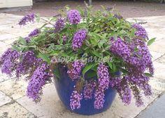 Un soi nou de liliac de vară pitic cu crengile atârnătoare, ce este ideal pentru ghivece sau jardiniere. Inflorescenţele...
