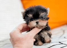 Yorkies Puppy List, Terrier Mix Dogs, Yorkies, Teacup, Backyard Landscaping, Landscape Design, Teddy Bear, Puppies, Animals