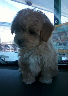 this is what our puppy will look like when we bring her hoe! TOO CUTE!!!!!