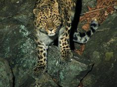 The rarest and most critically endangered of all the big cats... the Amur Leopard