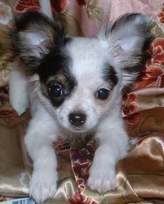 AKC APPLEHEAD, CHIHUAHUA PUPPY  14 weeks old