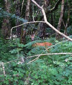 Deer in Yateley Common