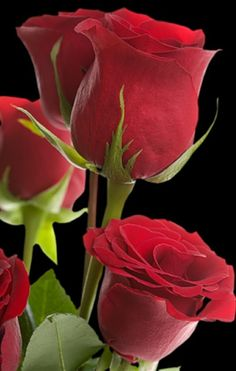 Women's Special: Four-Strategies Flowers Can Modify Your Working Day-To-Day Lifestyle Rosas Rojas All Flowers, Amazing Flowers, Beautiful Roses, My Flower, Beautiful Flowers, Amazing Red, Natur Wallpaper, Rosa Rose, Hybrid Tea Roses