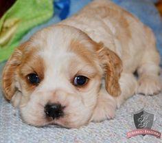 Cocker Spaniel puppy - Buster
