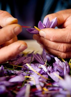 An Intimate Look at Italy's Saffron Harvest - The New York Times Saffron Crocus, Saffron Flower, Crocus Plants, Regions Of Italy, Tourist Spots, Permaculture, Ny Times, Red Gold, Harvest