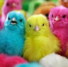 Image result for dyed baby chicks