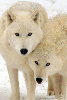 Pair Of White Winter Wolves