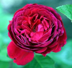 Alfred Colomb, reblooming hybrid perpetual in deep scarlet; introduced in 1865; Antique Rose Emporium