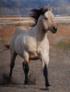 Quarter Horse stallion Mr Two Eyed Red Buck, so pretty