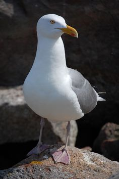 Herring Gull - They really do get a bad rap....they're beautiful birds.