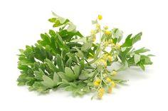 Proprietà e benefici dell'assenzio e del suo olio essenziale, la pianta si rivela utile per il trattamento di varie patologie ma ha molte controindicazioni.