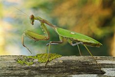 Te presentamos a la Mantis Religiosa, un aliado en la huerta