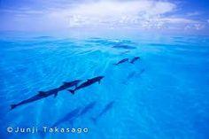 「bahamas dolphins」の画像検索結果