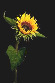 Tinnacriss — fotografiae: Sunflower by edcoenen. Sunflower Garden, Sunflower Art, Sunflowers And Daisies, Yellow Flowers, Sun Flowers, Growing Sunflowers, Happy Flowers, Beautiful Flowers, Sunflower Photography